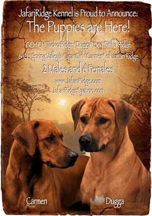 rhodesian ridgeback puppies for sale in florida